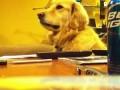 Собака - меломан