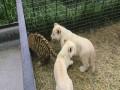 Львята и тигренок
