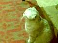 Говорливая кошка