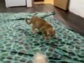 Кот против хорька