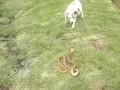 Бесстрашный пес Jack Russell vs Cape Cobra