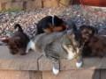 9 köpek vahşice kediye saldırırken görüntülendi! +18 :)