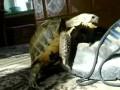 Черепаха имеет ботинок
