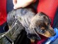 Любимый щенок таксы | Beloved dachshund puppy Sophie