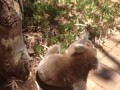 Koala Gets Kicked Out Of Tree and Cries!