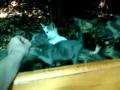 Семья крымских котов