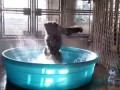 "A gorilla dances on the song ""Maniac"" Taking a bath (USA)"