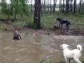 Кенгуру пытается утопить собаку (Part 2)