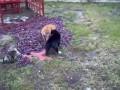 Супер драка котов!!! ЧЕРНЫЙ И РЫЖИЙ !!!