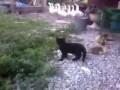Кот против утят