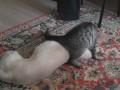 Наглый кот против ленивой собаки