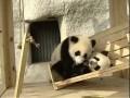 Панды катаются на горке