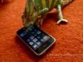 Хамелеон против айфона