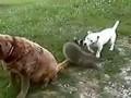 Веселый енот  играет с собаками