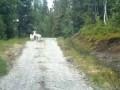 Овца против волка