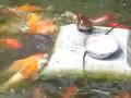 Little Duck Feeding The Fish / Küçük ördek balıkları besliyor :)