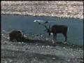 Медведица и олень