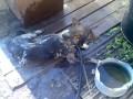 Охлаждение собак в летнюю жару