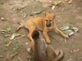 Обезьянка троллит собаку
