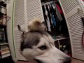 Husky and Baby Chick!? (Best Friends!)