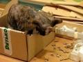 Кошка грызет картон