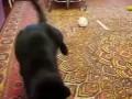 Горностай играет с кошкой