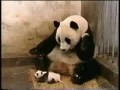 Панда чихнула