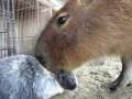 Заяц и капибара