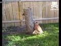 Собака против белки.