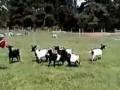 коза пугается зонтика