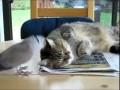 Кот достает кота