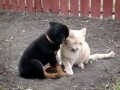 Rottweiler Play Cat