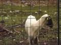 Овца требует адвокаа-а-аата!