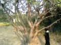 собака лазит по деревьям (1)