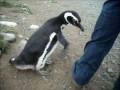 Пингвин, сцука, опасный