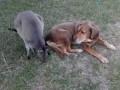 Собака и кенгуру