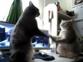 Два кота играют в ладушки