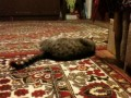 Йоргас - Дрессированный кот