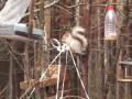 Белка у птичьих кормушек