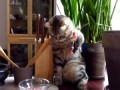 Cat Gourmet Кошка-гурман