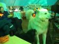 """Аляскинский маламут и Бетти. Прикольные собачки / puppies. Горный Клуб """"Эдельвейс"""" в КЧР"""