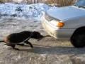 Собака тащит машину