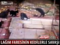 Крыса и 5 котов
