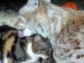 рысь и кот