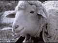 Sheep_eating