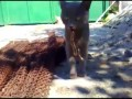 Кот vs Ящерица