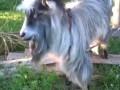 Коза-битбоксер / Goat beatboxer