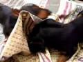 Такса Софи и Сима играются одеялом | Dachshund Sophie and Sima played blanket