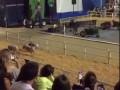 Свинские бега