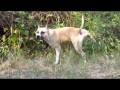 American Staffordshire Terrier.Мажор (Жорик)